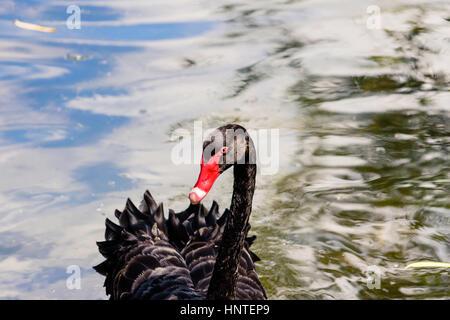 Black Swan swimming in a fresh water lake - Stock Image