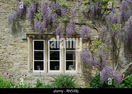 Purple flowering wisteria climbing up the front of a period cottage in the pretty village of Lacock, Wiltshire, UK - Stock Image