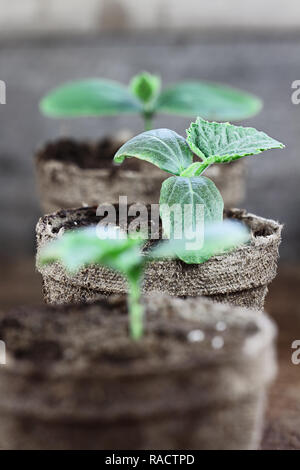 Three Cucumber plants with soil in trowel and seedling peat pots in the background over a rustic wooden background. Extreme shallow depth of field wit - Stock Image