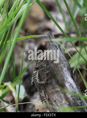 Wall lizard Climbing up dead log Hungary June 2015 - Stock Image