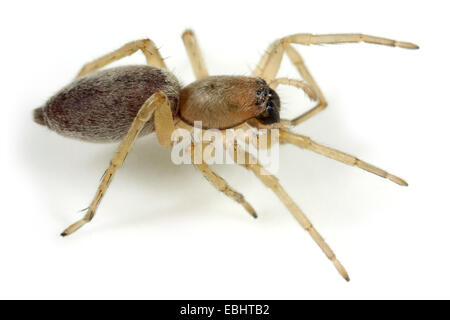 A Female Sac spider (Clubiona reclusa) on white background. Sac spiders are part of the family Clubionidae. - Stock Image