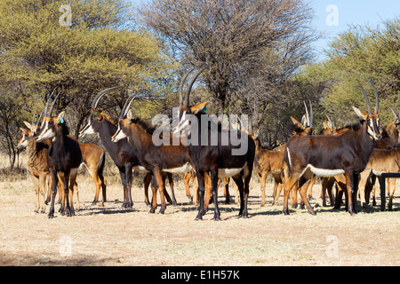 Herd of Sable antelopes (Hippotragus niger), South Africa - Stock Image