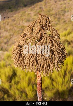 Seed head of the giant houseleek, Aeonium urbicum, near Arguayo, Tenerife - Stock Image
