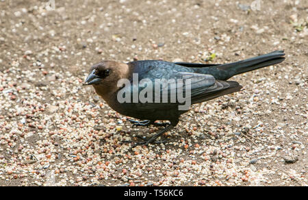 Maile brown-headed cowbird. - Stock Image