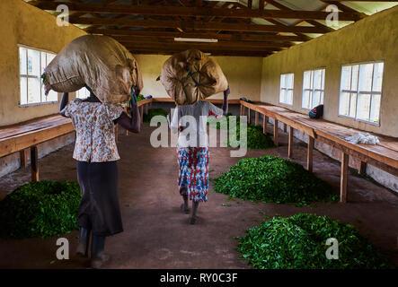 Kenya, Kericho county, Kericho, tea collect - Stock Image