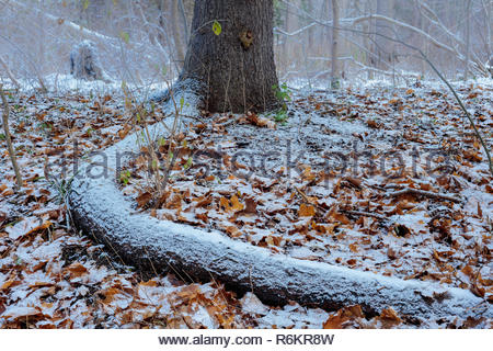 Tree root rimmed with the first snow of winter in Rouge National Urban Park in Toronto Ontario Canada - Stock Image