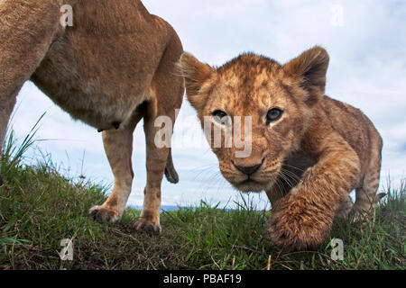 Lioness (Panthera leo) and cub aged about 2 months looking curious, Maasai Mara National Reserve, Kenya. Taken with remote wide angle camera. - Stock Image