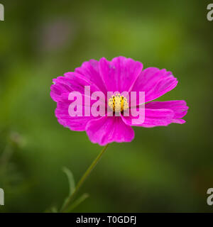 Cosmos flower, Cosmos bipinnatus or Mexican aster,  in Wakehurst Wild Botanic Gardens, United Kingdom - Stock Image