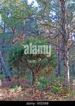 Juniper bush growing in wild pine tree forest - Stock Image