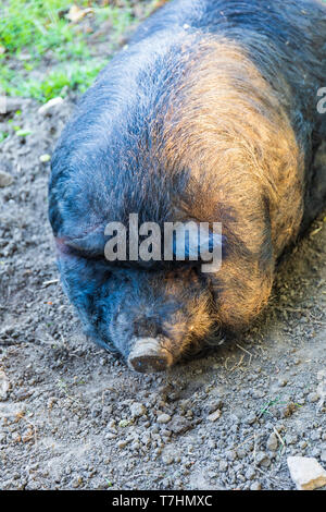 Face of hog lying on haunches in the dirt. - Stock Image