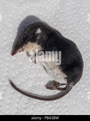 Dead water shrew – Neomys fodiens, probably killed by a domestic cat - Stock Image