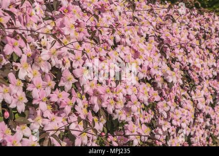 Flowering Clematis Montana variety Elizabeth closeup - Stock Image