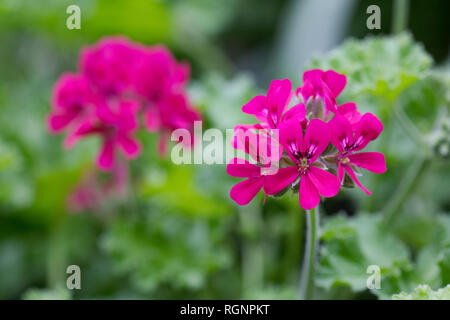 Dark Pink Pelargonium flowers. - Stock Image