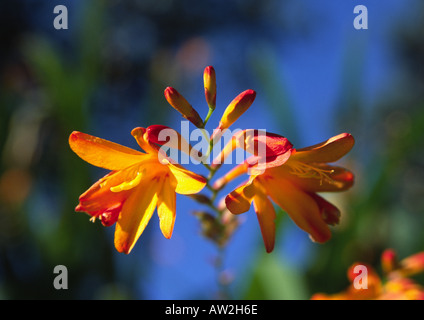 Orange Flowered Crocosmia Masonorum - Stock Image