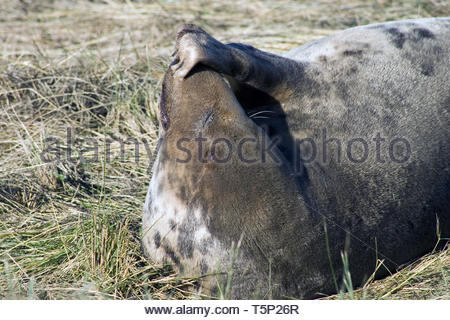 Female grey seal scratching her snout - Stock Image