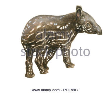saddleback tapir cub - Stock Image