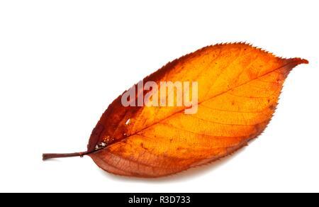 Orange Autumn leaf on a white studio background - Stock Image