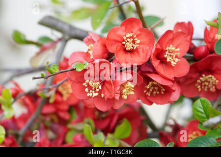Chaenomeles flowers. Japonica in Spring. - Stock Image