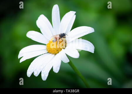 A wet honey bee resting on a daisy flower after a rain storm - Stock Image