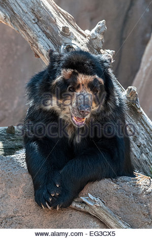 Andean Bear, or Spectacled Bear, Tremarctos ornatus, also called Andean short-faced bear, Cheyenne Mountain Zoo, - Stock Image