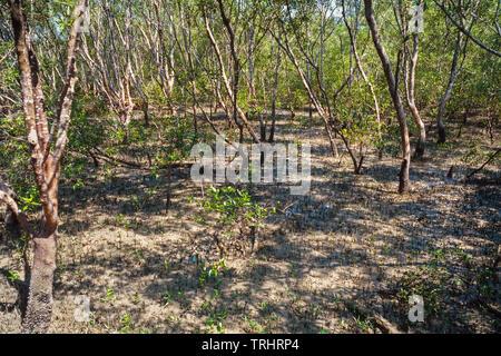 Mangrove swamp, Kuala Selangor Nature Park, Malaysia - Stock Image