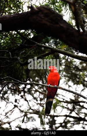 Australian King Parrot (Alisterus scapularis) - Stock Image