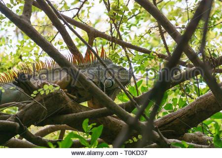 Green Iguana (Iguana iguana), taken in Mexico - Stock Image