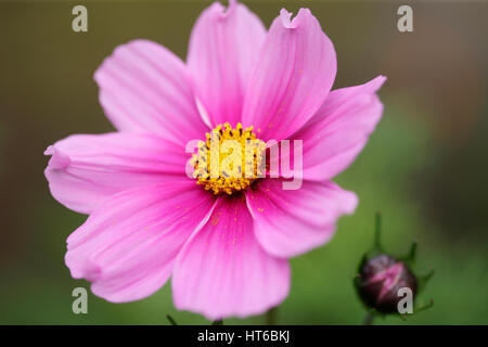 stunning pink cosmos sonata and bud - forward looking and positive Jane Ann Butler Photography  JABP1857 - Stock Image