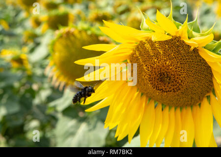 Big yellow sunflowers growing  on field with ripe black seeds in sunny day - Stock Image