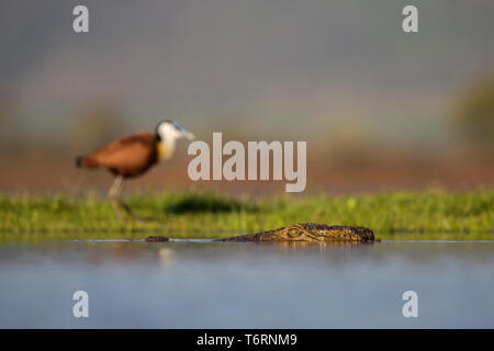 Nile crocodile (Crocodylus niloticus) in the water with an African jacana (Arctophilornis africanus) on the bank, Zimanga private game reserve, KwaZul - Stock Image