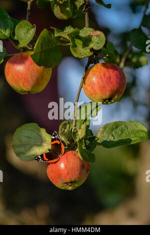 apple tree with butterfly - Stock Image