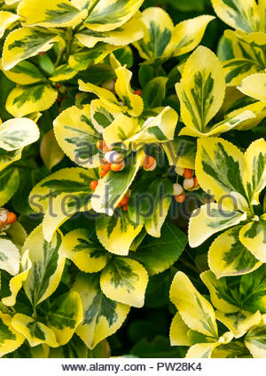 Euonymus fortunei  (Fortune's spindle, winter creeper) seeds ripening in autumn. - Stock Image