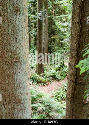 Path between the Trees: A small path viewed between two large tree trunks winds through the  floor of a mature west coast rain forest on the grounds of UBC. - Stock Image
