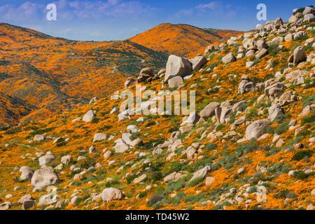 California Superbloom, the Poppy fields of Lake Elsinore, California, United States of America, North America - Stock Image