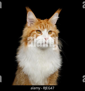 Adorable Portrait of Ginger Maine Coon Cat with white chest Isolated on Black Background - Stock Image