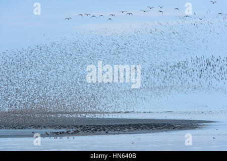 Large flock of red knot (Calidris canutus) and oysterctacher (Himantopus ostralegus) in pre-roost gathering on the - Stock Image