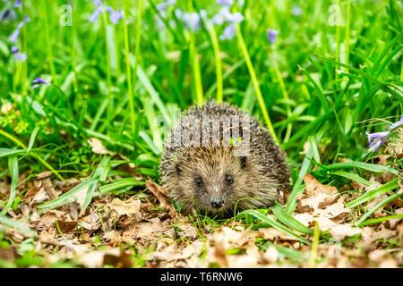 Hedgehog, (Scientific name: Erinaceus Europaeus) wild, native, European hedgehog in natural woodland habitat with bluebells in Springtime. Horizontal. - Stock Image