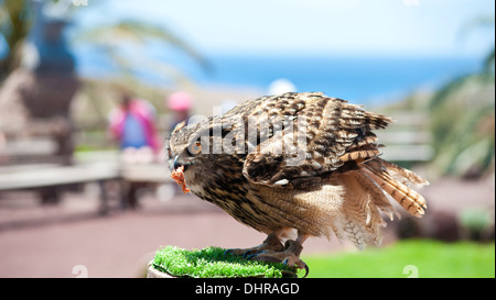 Eagle owl feeding on perch - Stock Image
