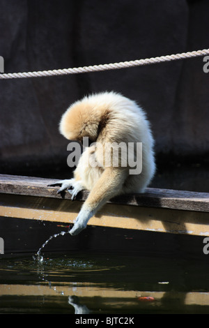 a gibbon monkey drinking out of a pond, vertical. - Stock Image