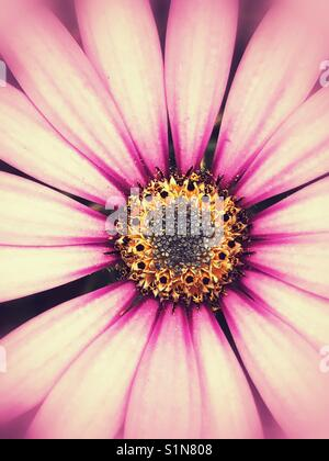Pink daisy flower - Stock Image