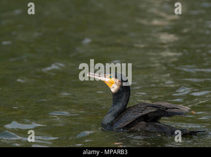 Great Cormorant,(Phalacrocorax carbo),also  known as the Great Black Cormorant, Regents Park, London, United Kingdom - Stock Image