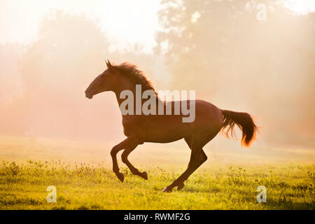 Iberian Sport Horse. Bay mare galloping in morning mist on a pasture. Germany - Stock Image