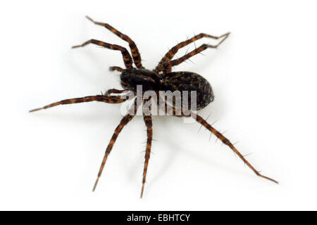 A Female Wolf spider (Pardosa prativaga) on white background. Wolf spiders are part of the family Lycosidae. - Stock Image