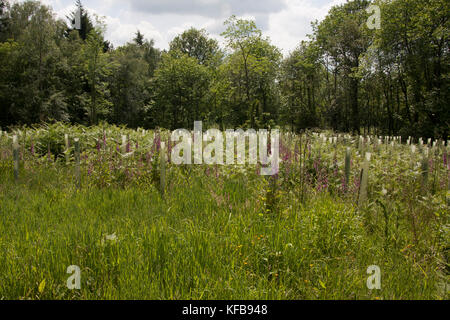 new oak tree planting in Tugley Wood forestry commission, Chiddingfold Forests, West Sussex - Stock Image