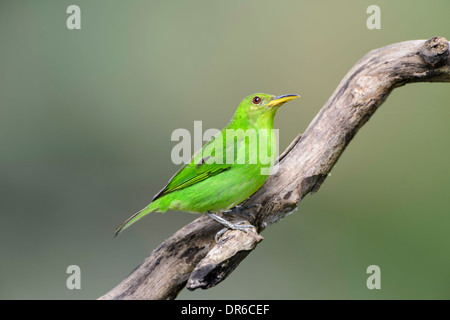A green honeycreeper perched on a branch in Costa Rica. - Stock Image