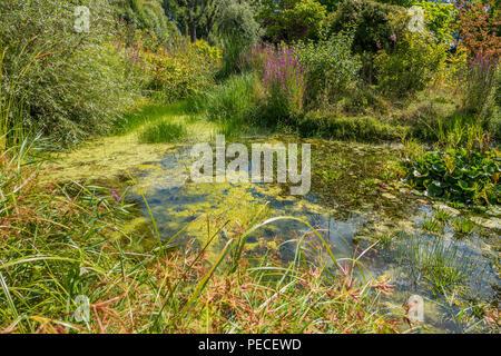 Wildlife Pond,Reeds, - Stock Image