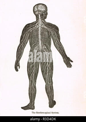 Cerebro-spinal system, human body.   A 19th century diagram - Stock Image