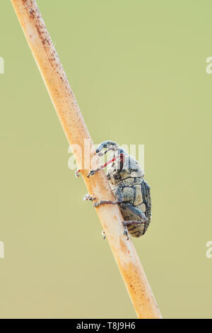 A Flower Weevil (Odontocorynus sp.) clings to a plant stem. - Stock Image