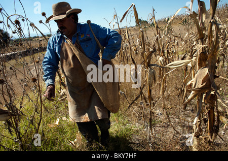 A farmer picks corn cobs in Lanzarote, near Tepotzotlan, Mexico, December 3, 2007. Photo/Chico Sanchez - Stock Image