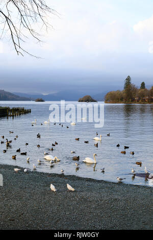 Waterfowl waiting to fed by tourists, Bowness on Windermere, Lake District, Cumbria, England - Stock Image
